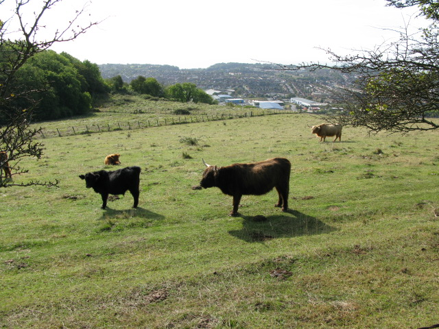Cattle from Crete Road West