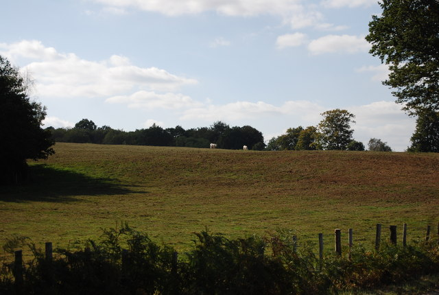Cattle grazing, Ensfield Rd