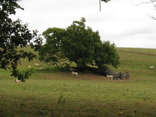 Sheep by fallen tree, but still growing strong