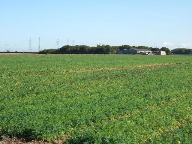 A field of carrots, Silverwood Farm