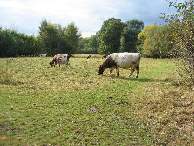 Cattle grazing at Canley Ford
