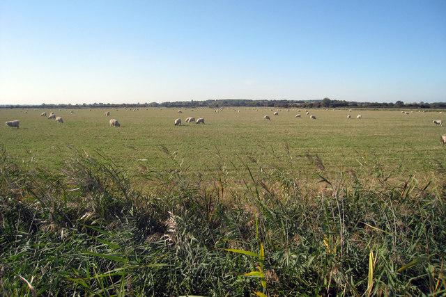 Sheep near Warehorne
