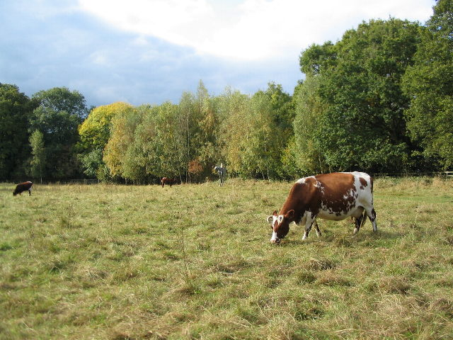 Cattle at Canley Ford