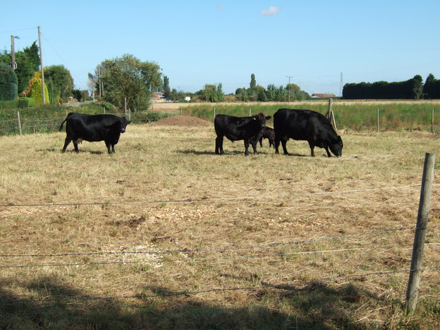 Cattle grazing in a small paddock