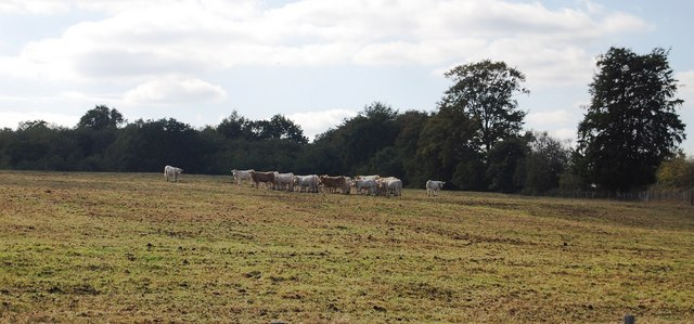 Cattle by Ensfield Rd