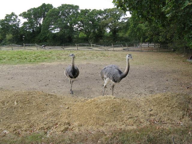 A pair of Rheas
