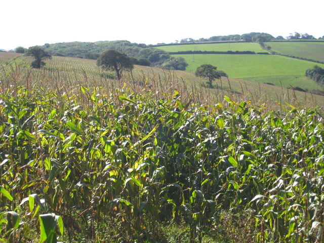 Field of maize at Pencoose