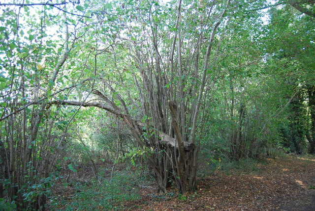 Coppiced tree by the Eden Valley Walk