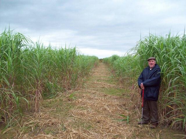 Field of Elephant Grass near Fradley Junction