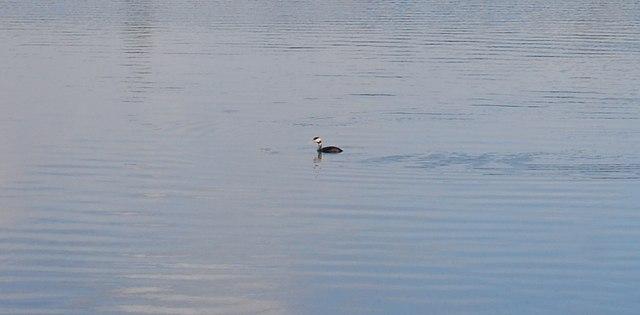 Grebe on Haysden Lake