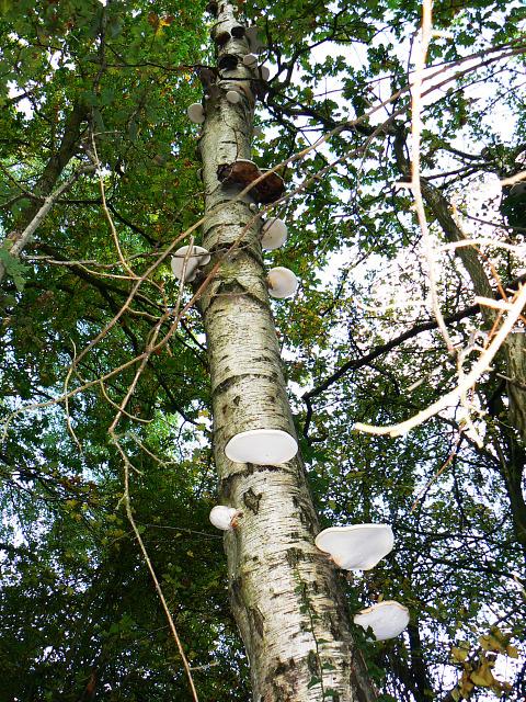 Polypore fungi on a birch, Stanton Park, Swindon