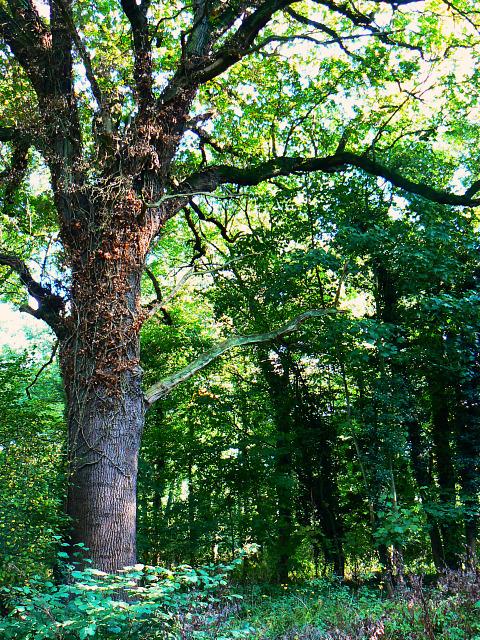 Oak tree in Great Wood, Stanton Park, Swindon
