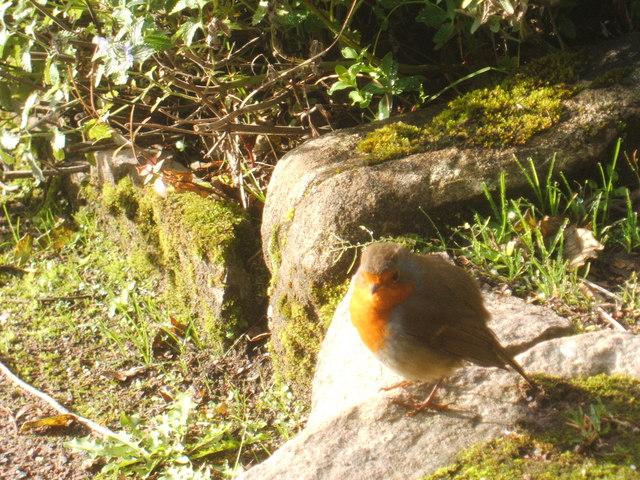 Robin at Inverewe