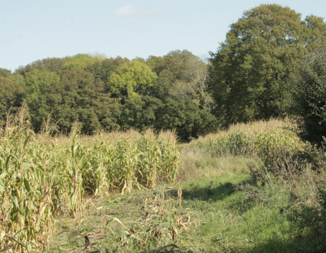 2009 : Footpath through a field of maize