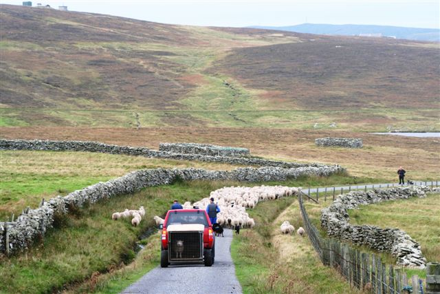 Noss sheep being driven past Sildries croft