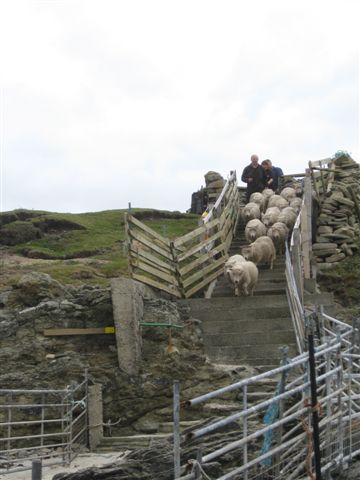 Noss lambs being herded down the race to the waiting inflatable  boat for their journey to Bressay