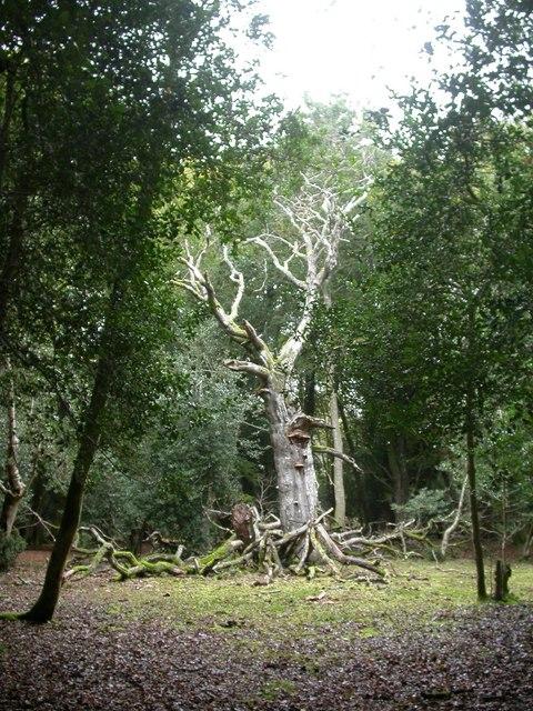 Hincheslea, dead tree
