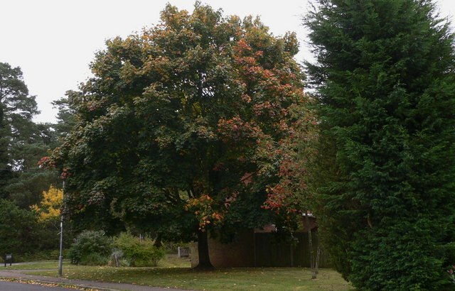 Tree changing colour on Broomfield Road