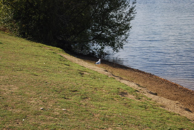Gull on the bank of Barden Lake