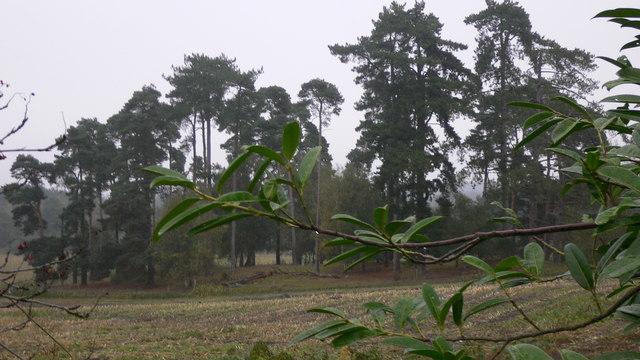 Clump of trees in field near Blackmoor