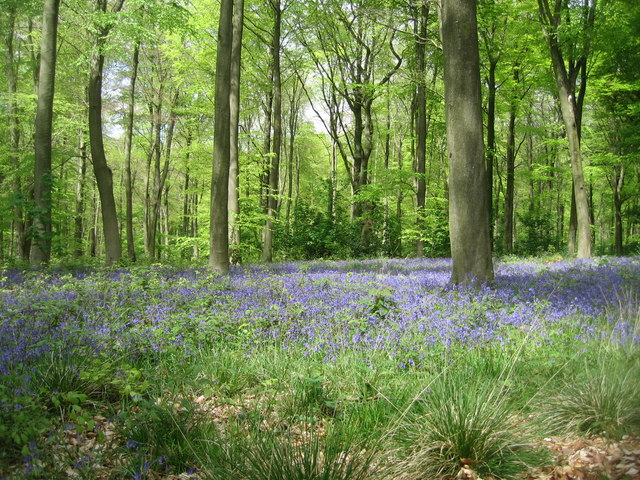 A typical bluebell scene