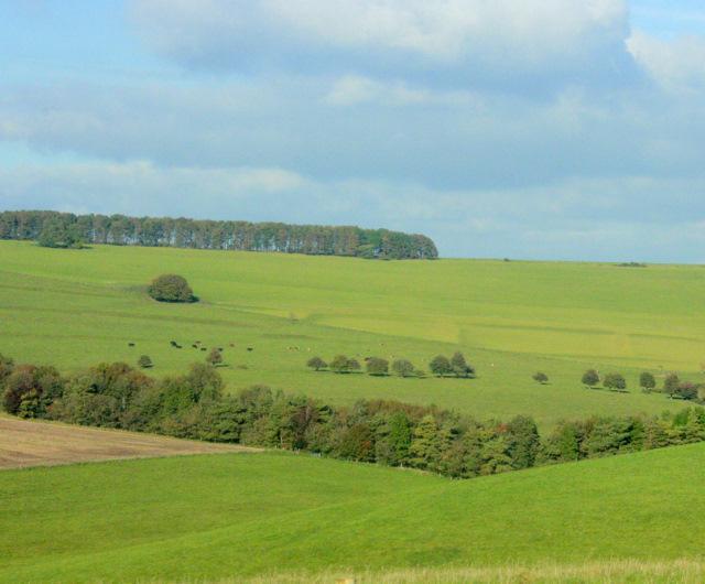 2009 : Cattle on Pen Hill