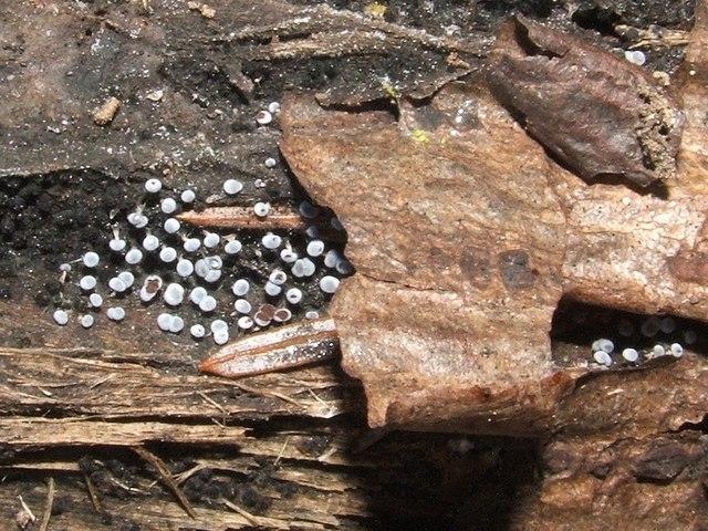 A slime mould - Physarum leucophaeum