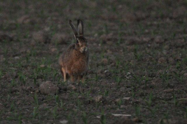 Hare at dusk
