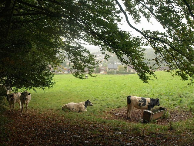 Cattle by Boxbury Hill