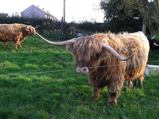 Highland cattle, Gretna