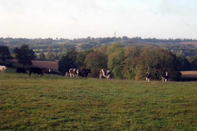 Cows off Crinkle Lane
