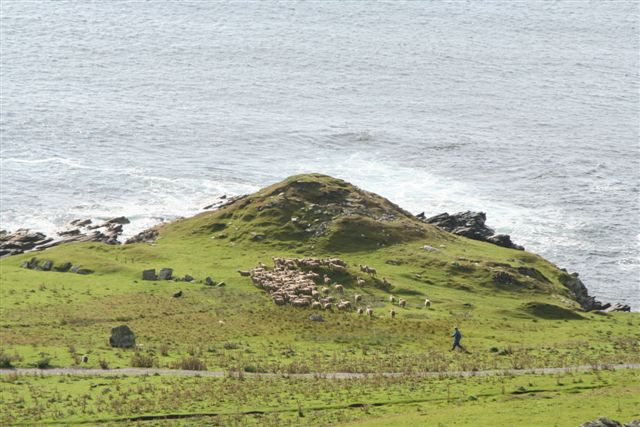 Gimmers being herded past old broch at Noss Sound