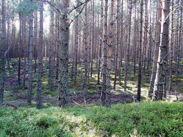 Conifers in Glen Feshie