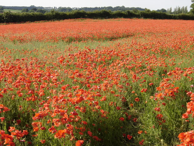 "This is why Norfolk is called ""Poppyland"""