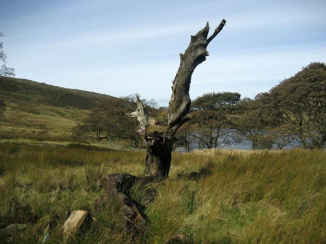 Dead Tree by Widdop Reservoir