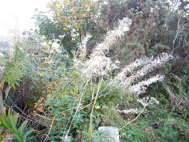 Rose Bay Willowherb seeding