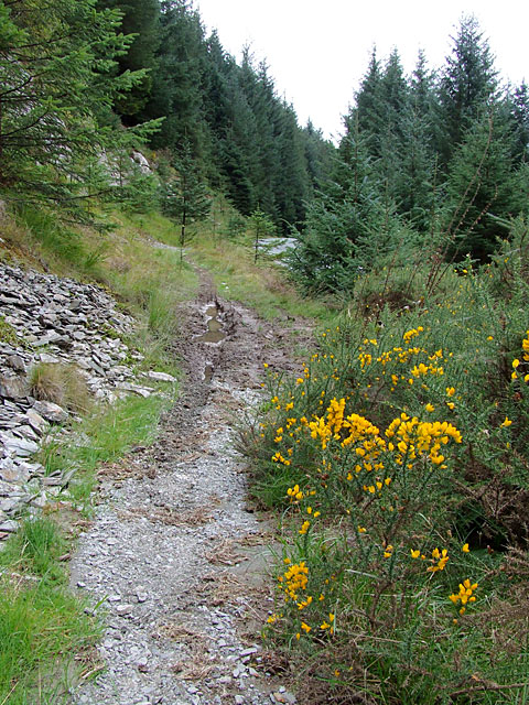 Bridleway with gorse, Tywi Forest, Powys
