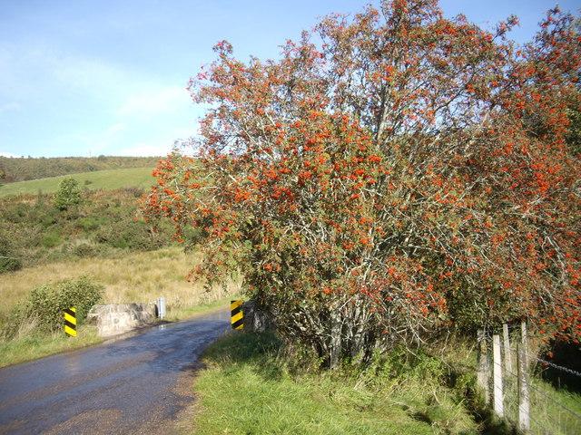 A fruiting Rowan