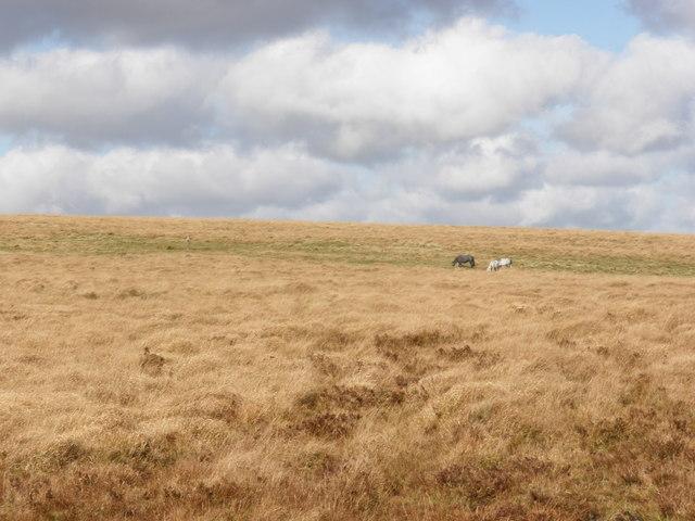 Ponies, grazing on Down Ridge