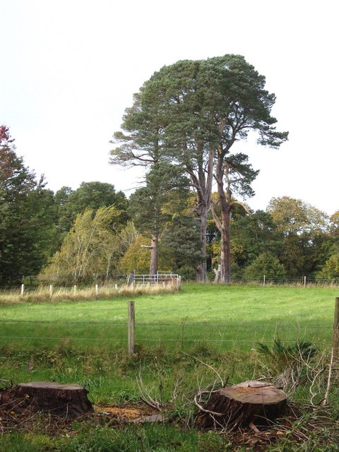Pine trees in Brodie Castle grounds