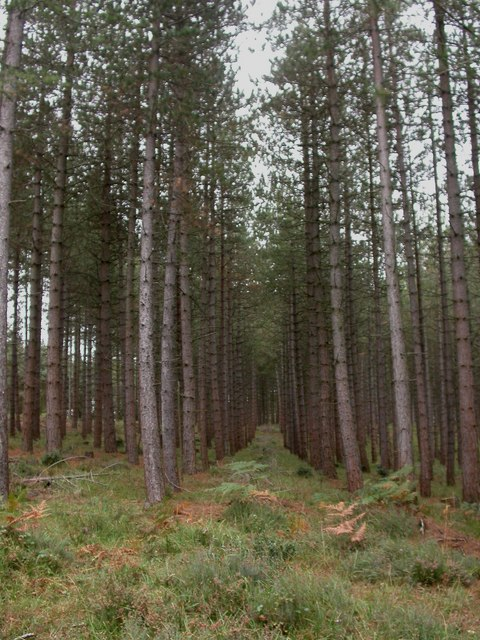 Dur Hill Inclosure, conifers