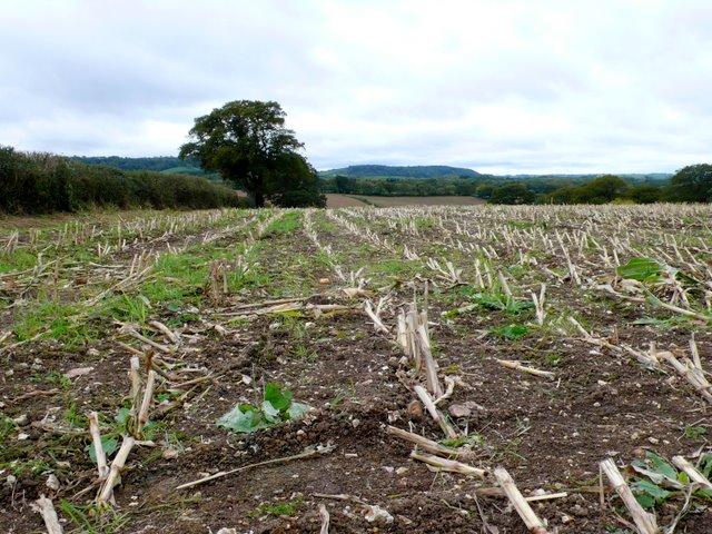 Cropped Maize Field