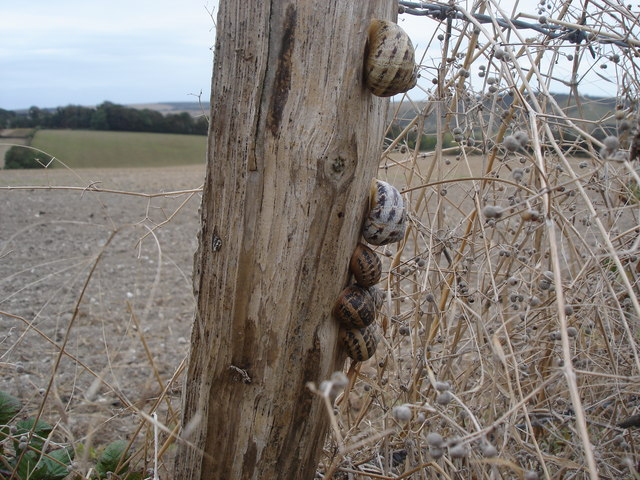 Snails on a fence post