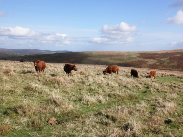 Devon cattle graze near Skir Cross