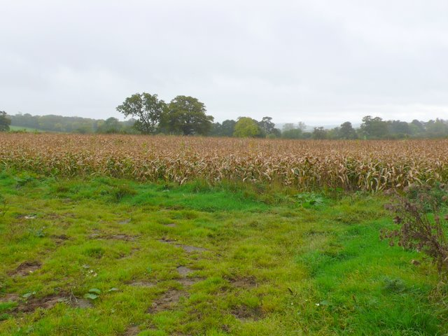 Maize Field near Rivers Corner.