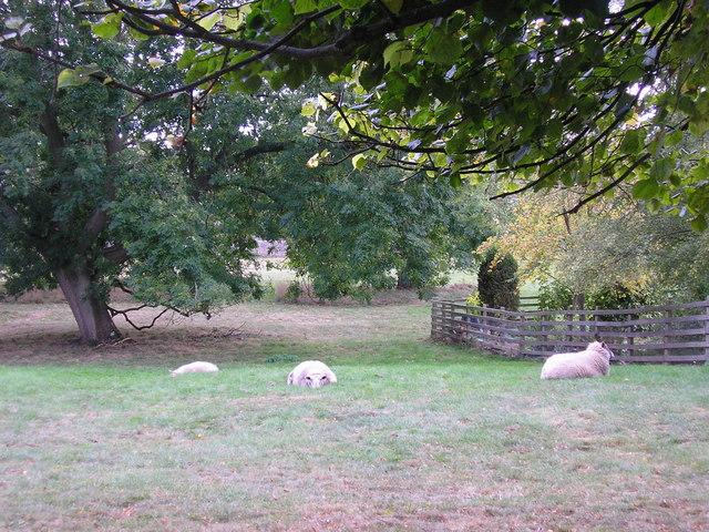 Sheep Near St Mary's Church, Clipsham