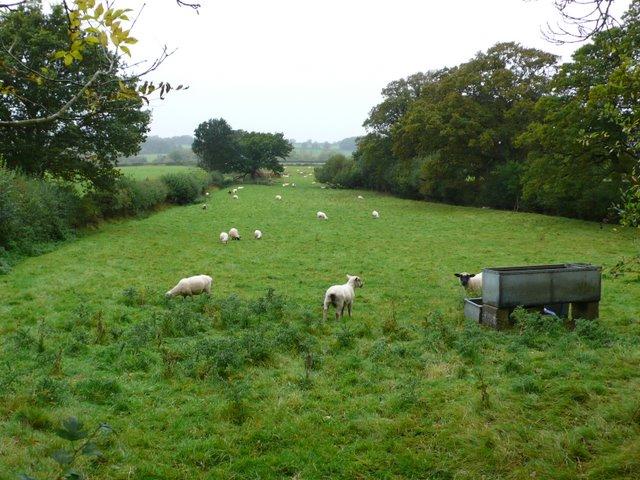 Sheep at Leigh