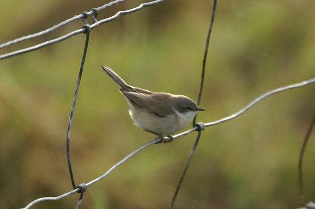 Lesser Whitethroat (Sylvia curruca), Skaw