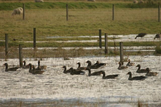 Greylag Geese (Anser anser) on floods at Norwick