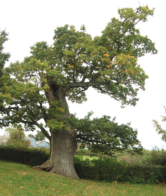 An ancient hollow oak in the grounds of Raglan Castle